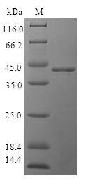 SDS-PAGE- Recombinant protein Human CAV3