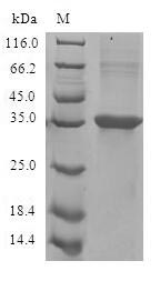 SDS-PAGE- Recombinant protein Human CCL11