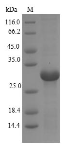 SDS-PAGE- Recombinant protein Macaca CD40LG