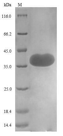 SDS-PAGE- Recombinant protein Human CD44