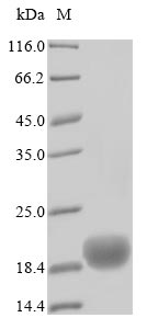SDS-PAGE- Recombinant protein Human CD52