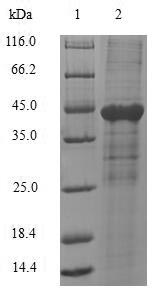 SDS-PAGE- Recombinant protein Human CEACAM1