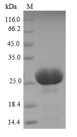 SDS-PAGE- Recombinant protein Human CEACAM3