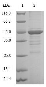 SDS-PAGE- Recombinant protein Human CEBPG