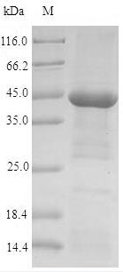 SDS-PAGE- Recombinant protein Human CHRNA1