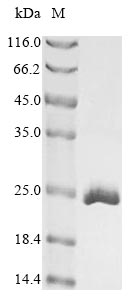 SDS-PAGE- Recombinant protein Mouse Cirbp