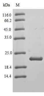 SDS-PAGE- Recombinant protein Human CLDN3