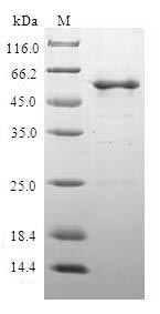 SDS-PAGE- Recombinant protein Human CLTA