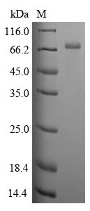 SDS-PAGE- Recombinant protein Human CLU