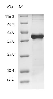 SDS-PAGE- Recombinant protein Rat Cpa1