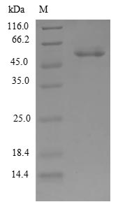 SDS-PAGE- Recombinant protein Human CPSF