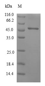 SDS-PAGE- Recombinant protein Human CRYGS