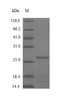 SDS-PAGE- Recombinant protein Human CSTB