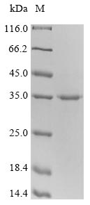 SDS-PAGE- Recombinant protein Mouse Ctla4