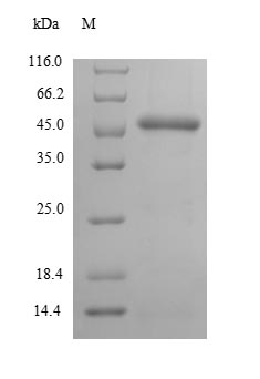SDS-PAGE- Recombinant protein Streptococcus pyrG