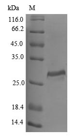SDS-PAGE- Recombinant protein Human CTSO