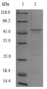 SDS-PAGE- Recombinant protein Human CYBB