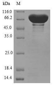 SDS-PAGE- Recombinant protein Human CYP11B1
