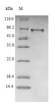 SDS-PAGE- Recombinant protein Mouse Cyp27b1