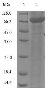 SDS-PAGE- Recombinant protein Mouse Dct