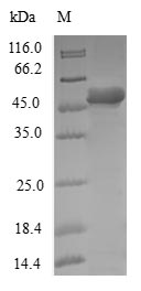 SDS-PAGE- Recombinant protein Human DCTN6