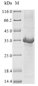 SDS-PAGE- Recombinant protein Human DEFA1