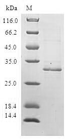 SDS-PAGE- Recombinant protein Human DEFB4A