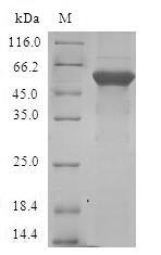SDS-PAGE- Recombinant protein Human E2F6