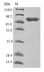 SDS-PAGE- Recombinant protein Human EEF1A1