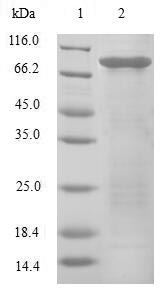 SDS-PAGE- Recombinant protein Human EIF3E