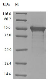 SDS-PAGE- Recombinant protein Human EIF4G1