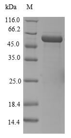 SDS-PAGE- Recombinant protein Human ELAVL4