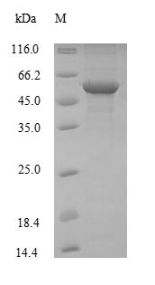 SDS-PAGE- Recombinant protein Mouse Eno1