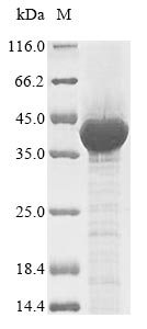 SDS-PAGE- Recombinant protein Human ENOX2
