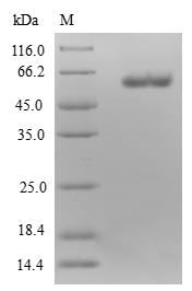 SDS-PAGE- Recombinant protein Human ETFA