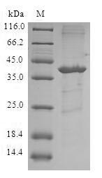 SDS-PAGE- Recombinant protein Human FABP5