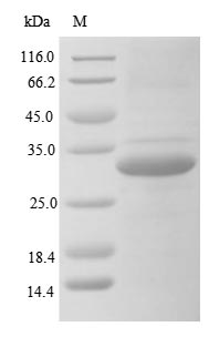 SDS-PAGE- Recombinant protein Human FCN3