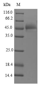 SDS-PAGE- Recombinant protein Human FGF12