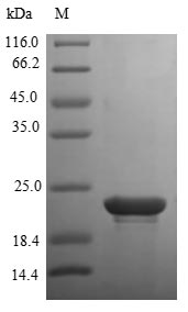 SDS-PAGE- Recombinant protein Human FGFB