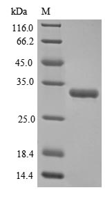 SDS-PAGE- Recombinant protein Human FGF2
