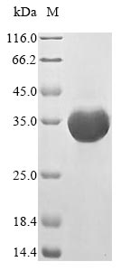 SDS-PAGE- Recombinant protein Mouse Fpr2