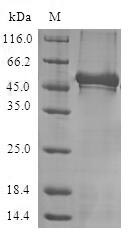 SDS-PAGE- Recombinant protein Human NCS1