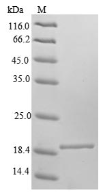 SDS-PAGE- Recombinant protein Mouse Fxn
