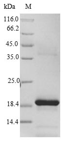 SDS-PAGE- Recombinant protein Rat Fxn