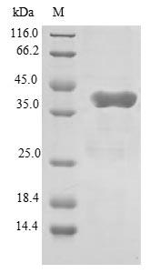 SDS-PAGE - Recombinant Human GATC