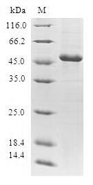 SDS-PAGE- Recombinant protein Human GCA