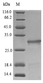 SDS-PAGE- Recombinant protein Pig GH1