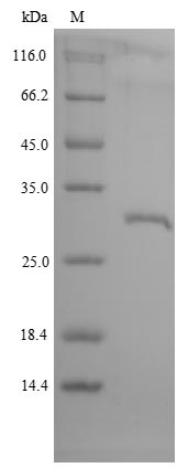 SDS-PAGE- Recombinant protein Macaca GHR