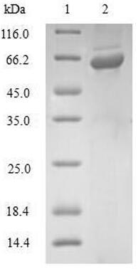 SDS-PAGE- Recombinant protein Human GLRX3