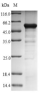 SDS-PAGE - Recombinant Human GNAZ